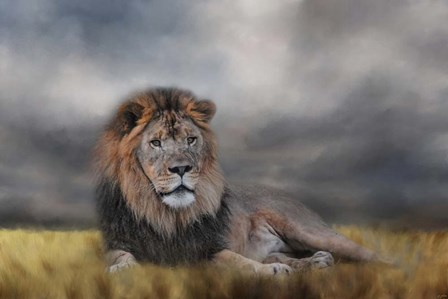 Lion Waiting For The Storm by Jai Johnson art print