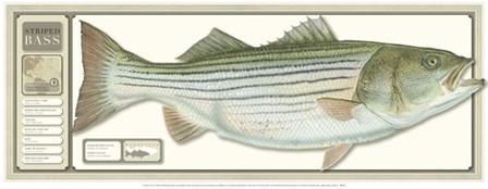 World Record Striped Bass art print