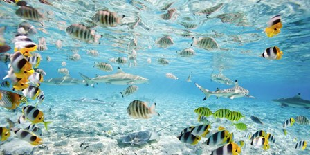 Fish and sharks in Bora Bora lagoon by Pangea Images art print