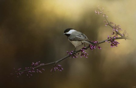 Chickadee In The Golden Light by Jai Johnson art print
